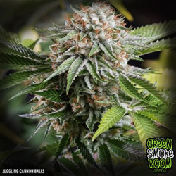 Juggling Cannon Balls Feminised Seeds