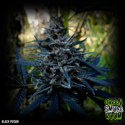 Black Poison Feminised Seeds