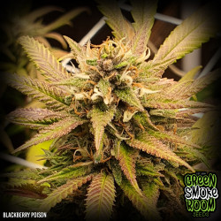 Blackberry Poison Feminised Seeds