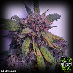 Blue Domina Gelato Feminised Seeds