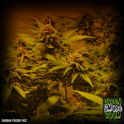Durban Poison Fast Feminised Seeds