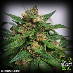 Gold Malawian Lightning Feminised Seeds