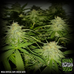 Mega Critical Cape Cheese Auto Feminised Seeds