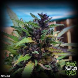 Purple Bud Regular Seeds
