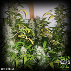 Super Silver Haze Feminised Seeds