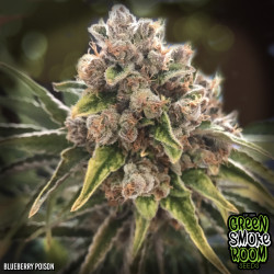 Blueberry Poison Feminised Seeds