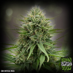 CBD Critical Mass Feminised Seeds