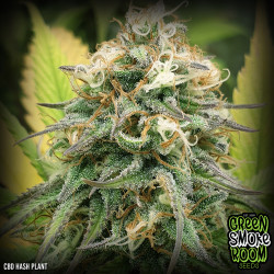 CBD Hash Plant Feminised Seeds