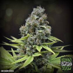 CBD Shark Shock Feminised Seeds