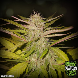 Colombian Gold Feminised Seeds *Land Race*