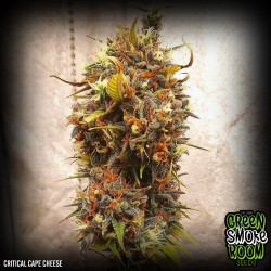 Critical Cape Cheese Feminised Seeds