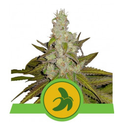 Fat Banana Auto Feminised Seeds