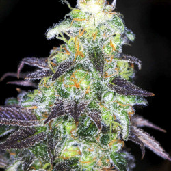 Kabul Auto Feminised Seeds