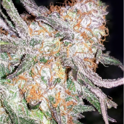 Afghan Original Feminised Seeds