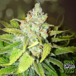 Apollo's Poison Auto Feminised Seeds