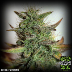 Great White Auto Feminised Seeds