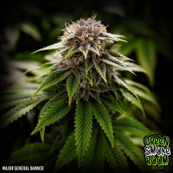 Major General Banner Feminised Seeds