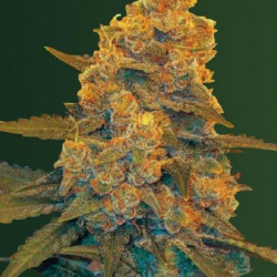 Blow Dream Auto Feminised Seeds