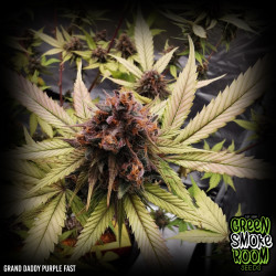 Grand Daddy Purple Fast Feminised Seeds