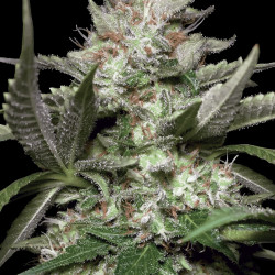 Auto Kong 4 by Paradise seeds