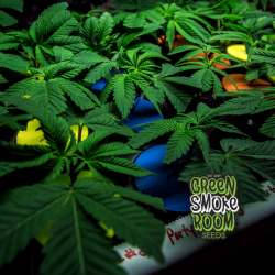 Green Smoke Room Monthly Clone Special