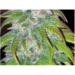 BC Big Bud Regular Seeds - 12 BCBD