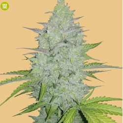 Original Cheese Auto Feminised Seeds by FastBuds