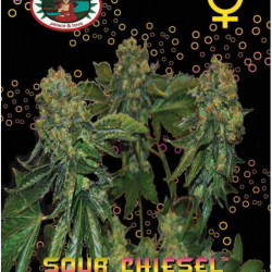 Sour Chiesel Auto Feminised Seeds Big Buddha seeds