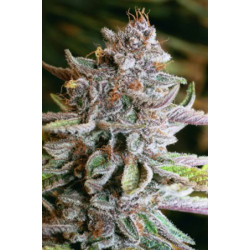 Blue Kush Auto Feminised Seeds