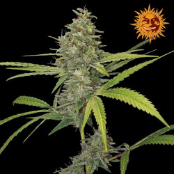 G13 Haze Feminised  seeds