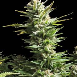 Amnesia Haze Feminised Seeds By RQS