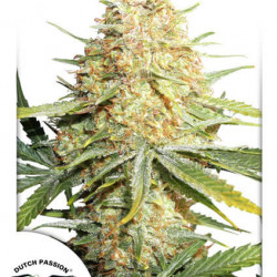 Lemon Zkittle Auto Feminised Seeds