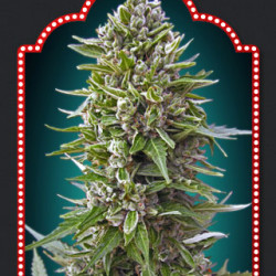 Automatik Collection #2 Feminised Seeds - 6