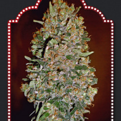 Automatik Collection #1 Feminised Seeds - 6