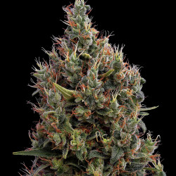 Big Bang - Auto Feminised Seeds