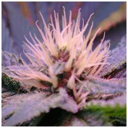 Auto Blue Mystic Feminised Seeds - 5