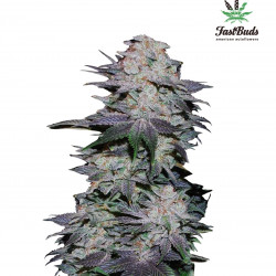 Blackberry Auto Feminised Seeds