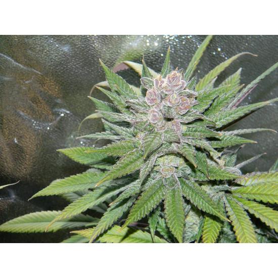 Blueberry Cheesecake Feminised Seeds