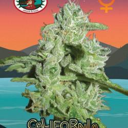 California Orange Cheese Feminised Seeds by Big Buddha Seeds