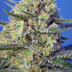 Crystal Candy F1 Fast Version Feminised Seeds