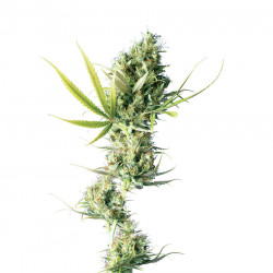 Durban Feminised Seeds