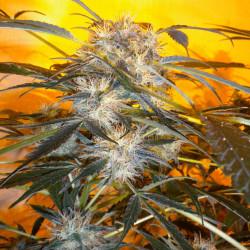 Nirvana Sky Autoflowering Feminised Seeds - 3