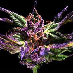Grand Daddy Purple - 5 FEMINISED Seeds