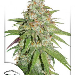 Glueberry O.G. Feminised Seeds