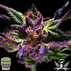 Grand Daddy Purple - 10 Regular Seeds