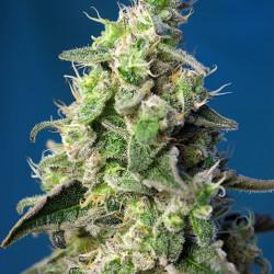 Green Poison XL Auto Feminised Seeds
