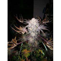Larry Bird OG Feminised Cannabis Seeds