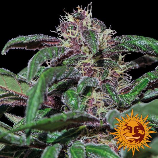 Ayahuasca Purple Feminised Seeds