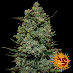 Cookies Kush Feminised Seeds