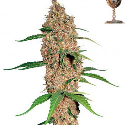 Laughing Buddha Feminised Seeds